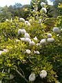 Gardenia ternifolia ssp jovis-tonantis KirstenboshBotGard09292010A.JPG