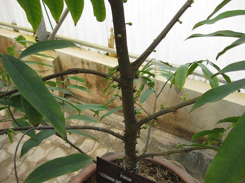 TÌNH YÊU CÂY CỎ  - Page 21 800px-Gardenology.org-IMG_8305_qsbg11mar