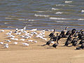 Gaviotines y Biguás II, Laguna Garzón, Uruguay.jpg