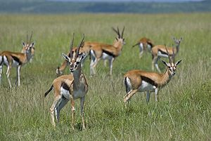 Thomson's gazelle - Gazelle herd