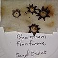Geastrum floriforme Vittad. (400391).jpg