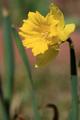 Gelbe Narzisse (Narcissus pseudonarcissus) 2.png