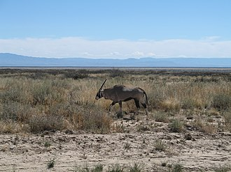 New Mexico Department of Game and Fish - Gemsbok in the White Sands Missile Range in New Mexico