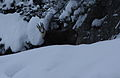 Gemse niedere tauern0047.JPG