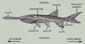 General Morphology of Paddlefish.png