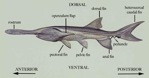 American paddlefish - General morphology of the American paddlefish
