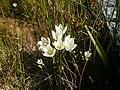 Gentianella bellidifolia.JPG