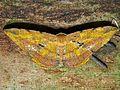 Geometrid Moth (Dalima subflava) (8406541320).jpg