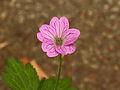 Geranium x oxonianum. Roze bloeiende tuingeranium.JPG