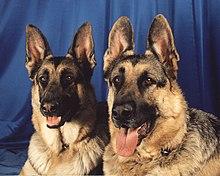 Le Chien 10 dans CHIEN 220px-German_Shepherd_Dogs_portrait