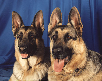 Two German Shepherd Dogs.