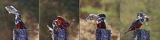 Giant kingfisher - Image: Giant kingfisher (Megaceryle maxima) female composite