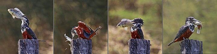 Giant kingfisher (Megaceryle maxima) female composite