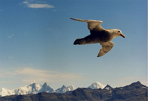Giant petrel flies at soutg georgia