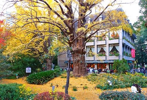 Ginkgo biloba - Hibiya Park 2