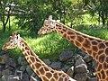Giraffe (4065815554).jpg