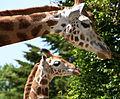 Giraffe and young giraffe (4645488893).jpg