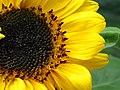 Girasol (Helianthus annuus) - Flickr - Alejandro Bayer.jpg