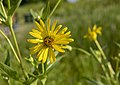 Glacier Ridge - False Sunflower Heliopsis helianthoides Flower 1.jpg