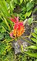 Gloriosa superba (orange red).jpg