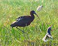 Glossy Ibis Odisha India (2).jpg