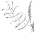Glycyrrhiza glabra Taub121b.png