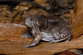 Glyphoglossus molossus, Blunt-headed burrowing frog - Hua Hin District, Near Pala-U.jpg