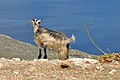 Goat at the Kissamos Gulf in Crete 002.JPG
