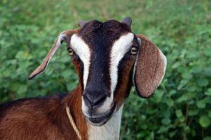 English: A goat
