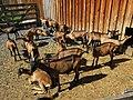Goats in la Bourboule 3.jpg