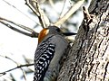 Golden-Fronted Woodpecker 0008.jpg