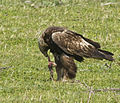 Golden Eagle (Aquila chrysaetos).jpg