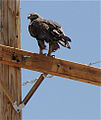 Golden Eagle Cisco Utah 2.jpg