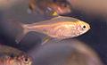 Golden pristella tetra 1.jpg