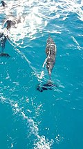 Golfinhos na Bahia de Santo Antônio.jpg