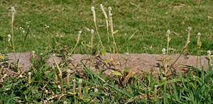 Gomphrena - Image: Gomphrena serrata in Hyderabad W IMG 9022