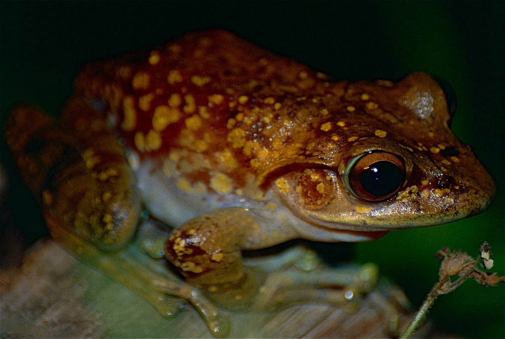 File:Goudot's Bright-eyed Frog (Boophis goudotii) (10313677323 ...