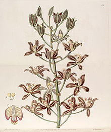 Grammatophyllum multiflorum - Edwards vol 25 (NS 2) pl 65 (1839).jpg
