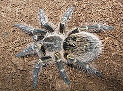 Grammostola pulchripes top view.jpg