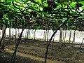 Grapes Plantation @ Cumbum, Theni - panoramio (4).jpg
