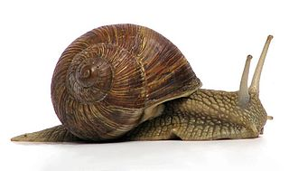 Gastropoda - Air-breathing land gastropod Helix pomatia, the Roman snail