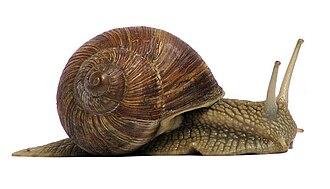 Gastropoda - Air-breathing land gastropod Helix pomatia, the Roman snail