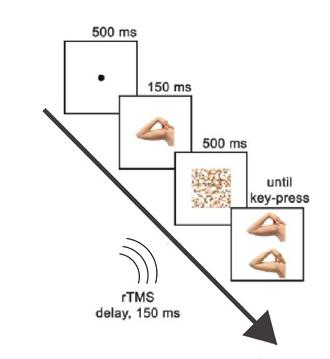 Extrastriate body area - Timeline of the task, study by Urgesi et al. (2004)