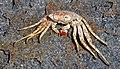 Grapsus grapsus (Sally lightfoot crab) (San Salvador Island, Bahamas) 3 (16005552756).jpg