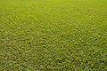Grass Texture - Kolkata 2013-11-10 4454.JPG