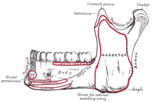 Mental protuberance - Mandible. Outer surface. Side view. (Mental protuberance labeled at bottom left.)