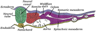 Notochord flexible rod-shaped body found in embryos of all chordates