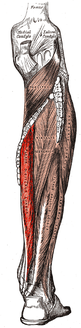 Gray439-Musculus flexor digitorum longus.png
