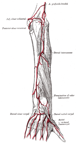 dorsal metacarpal arteries wikipedia