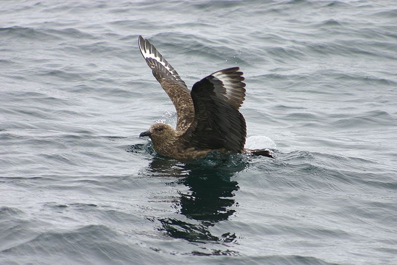 great skua in water
